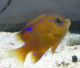 Garibaldi Damselfish are on sale at Milwaukee Aquatics this week!