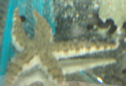 White Sand Sifting Starfish in stock and for sale at Milwaukee Aquatics
