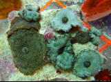 Australian Disco Mushrooms are available at Milwaukee Aquatics.