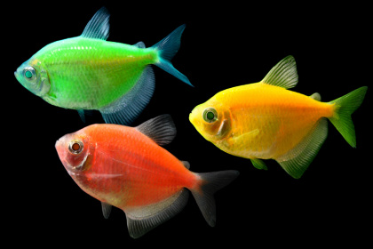 Glofish are available in all colors at milwaukee aquatics for Glo tetra fish