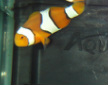Black Edge Percula Clownfish for sale at Milwaukee Aquatics