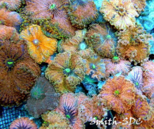 Mushroom corals for sale at Milwaukee Aquatics.