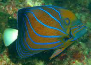 Saltwater Angelfish, Angelfish, Angelfish for sale at Milwaukee Aquatics