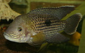 American & New World Cichlids