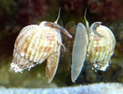 Nassarius Snail, for sale at Milwaukee Aquatics, Saltwater snails, Milwaukee
