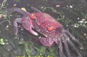 freshwater crab, freshwater crabs, freshwater crabs milwaukee, freshwater crabs Milwaukee, freshwater crabs for sale in Milwaukee, freshwater crabs Milwaukee Aquatics