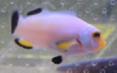 Platinum Picasso Clownfish are for sale at Milwaukee Aquatics.  We have them in stock for $65 in Milwaukee, WI.
