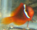 Tomato Clownfish are in stock and on sale at Milwaukee Aquatics for $10