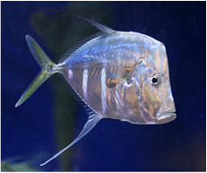 Milwaukee Aquatcis has lookdowns (tank raised) in stock and on sale... starting at $55.