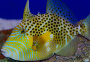 Gold Heart Triggerfish