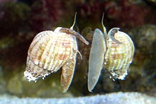 snails, snails saltwater, saltwater snails, snails (saltwater), snails (saltwater) milwaukee, snails (saltwater) Milwaukee, saltwater snails milwaukee, saltwater snails Milwaukee, snails (saltwater) Milwaukee Aquatics
