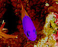 royal (bicolor) dottyback pseudochromis paccagnellae, royal dottyback Pseudochromis paccagnellae, Pseudochromis paccagnellae, royal dottyback Pseudochromis paccagnellae Milwaukee, royal dottyback Pseudochromis paccagnellae milwaukee