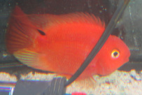 Blood Red Parrots are in stock and on sale at Milwaukee Aquatics.