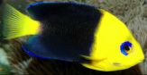 Joculator Angelfish are available at Milwaukee Aquatcs.  They are $575 in Milwaukee, WI