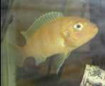 Adult Kenyi Cichlid in stock and on sale at Milwaukee Aquatics for $5