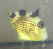 Blue triggerfish (Blue-lined) in stock and on sale at Milwaukee Aquatics for $70