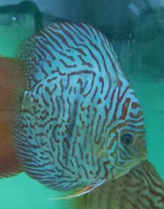 Tiger Turquoise discus (tiger turk discus) are available at Milwaukee Aquatics.