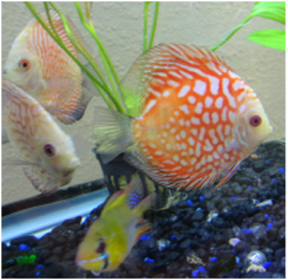 Discus are in stock and on sale at Milwaukee Aquatics.
