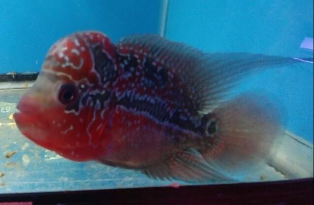 Flowerhorns are in stock at Milwaukee Aquatics.