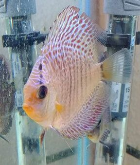 We have a nice variety of discus in stock.  They have been here for a few weeks and are doing great.